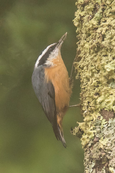 I think Red-breasted Nuthatches molt into their new set of feathers at this time of year because they look especially nice right now.  This one was climbing up a tree outside our cabin.  Its head is tucked in, giving it a very rounded look.