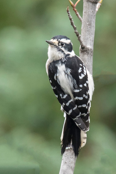 At Taconite Harbor, this female Downy Woodpecker landed on a small tree and surveyed the area.