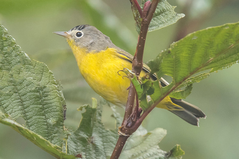 This bird had me stumped.  With its gray head, yellow body, and big white eye ring it looked like a Nashville Warbler.  But Nashville Warblers don't have black stripes on their heads.  They do have a reddish patch on the top of the head, but it is usually hidden.  I sent this photo to two of my birding friends and they agreed it must be a Nashville.  It either has odd plumage or could be a hybrid (mated with a different species of warbler).