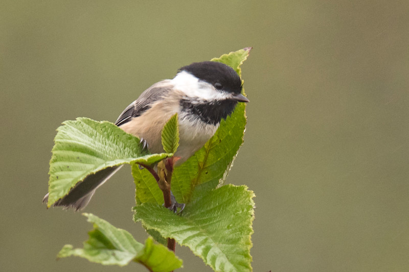 Two weeks ago, Diana and I made our annual fall trip to Minnesota's North Shore.  I didn't have a lot of success seeing birds this year but here are some that I managed to photograph.  Black-capped Chickadees are always cute subjects.  This one tucked itself into some leaves at the top of a branch.