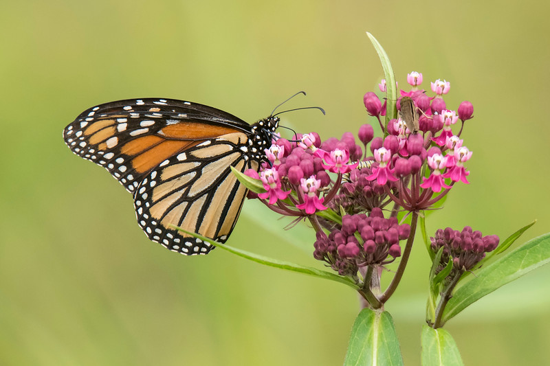 Here are some butterfly photos taken this summer at our lake home in northern Minnesota.  We were happy to see some Monarch Butterflies because last summer we didn't see any of them.  This Monarch is resting on a Swamp Milkweed, one of their favorites.