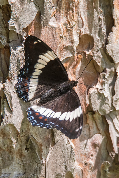This is a White Admiral butterfly resting on the side of a pine tree.