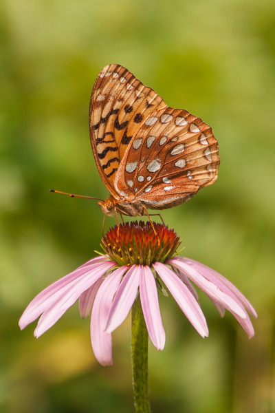 This Great Spangled Fritillary is checking out a Purple Coneflower growing on the hill near our wind turbine.