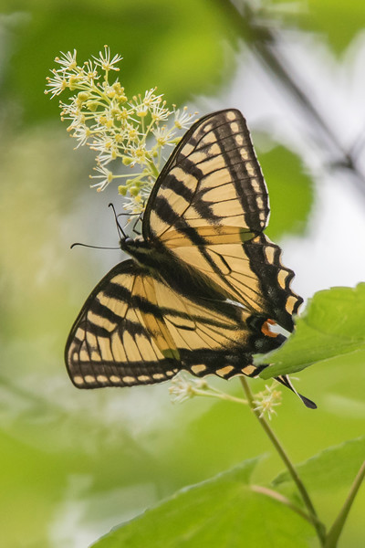 Tiger Swallowtails were a common sight in our wildflower garden.