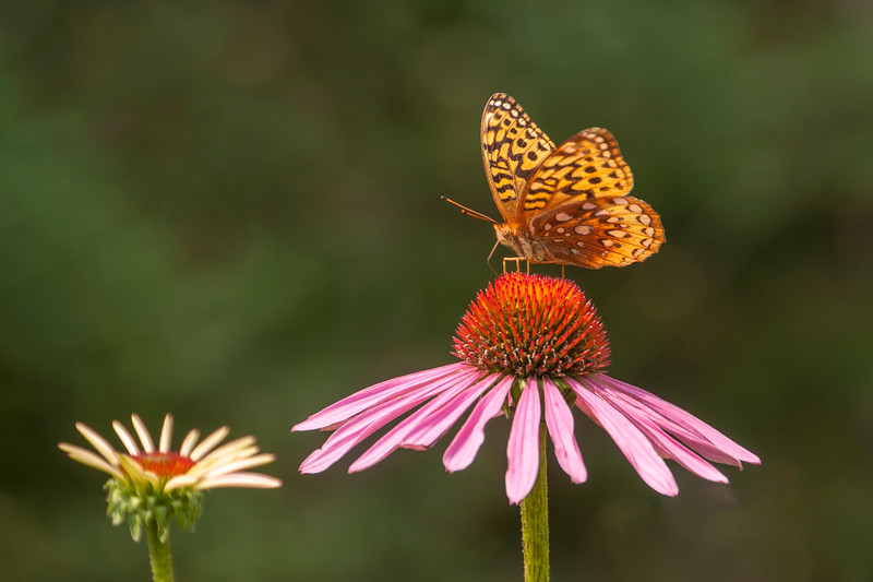 """Here's another photo of a Great Spangled Fritillary on a coneflower.  This is my favorite insect photo from this summer.  In fact, I like it so much, I'm using it as the cover photo for my 2019 Nature Calendar.  See the calendar by clicking this link.  <a href=""""http://www.etsy.com/shop/EarlOrfPhotos"""">http://www.etsy.com/shop/EarlOrfPhotos</a>"""