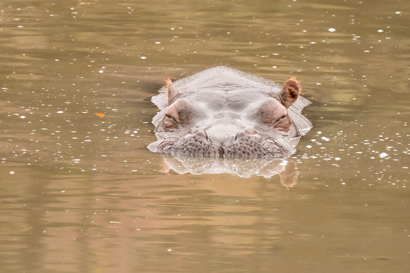 Here's a funny front view of the Hippo.