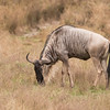 A Wildebeest is also called a Gnu. In fact, the park brochure says this is a White-Bearded Gnu.  Wildebeest are the animals that are shown migrating in huge herds when you watch wildlife documentaries about Africa.