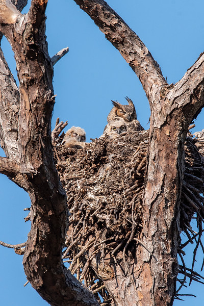 Here's my last set of owl family photos.  This picture was taken from a different angle than the others I have shown you.  It emphasizes the massive size of the nest which was originally built by an eagle.  Eagles use a nest over and over for many years.  Each year, they add more material to the nest.  Eventually, it gets huge and sometimes the tree falls over from the weight of the nest.