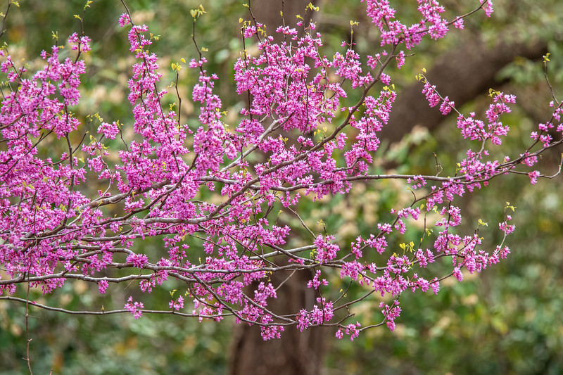 Redbud is a flowering tree and the flowers appear even before the leaves.  Notice a few leaves just beginning to sprout from the ends of the branches.  We saw flowering Redbuds many places, but this photo was taken at Wakulla Springs Park.