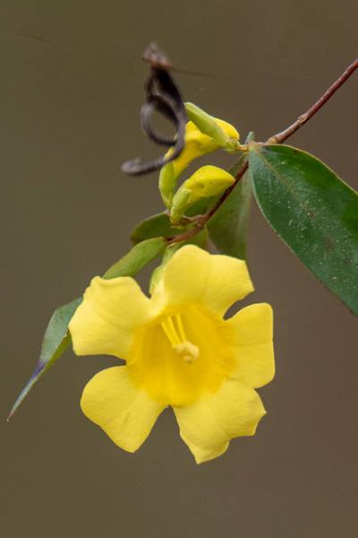 I was birding with my friend, John Murphy, at Tall Timbers Research Station in Tallahassee, Florida, when we saw these small yellow flowers.  John told me they are Carolina Jasmine, an early blooming plant.