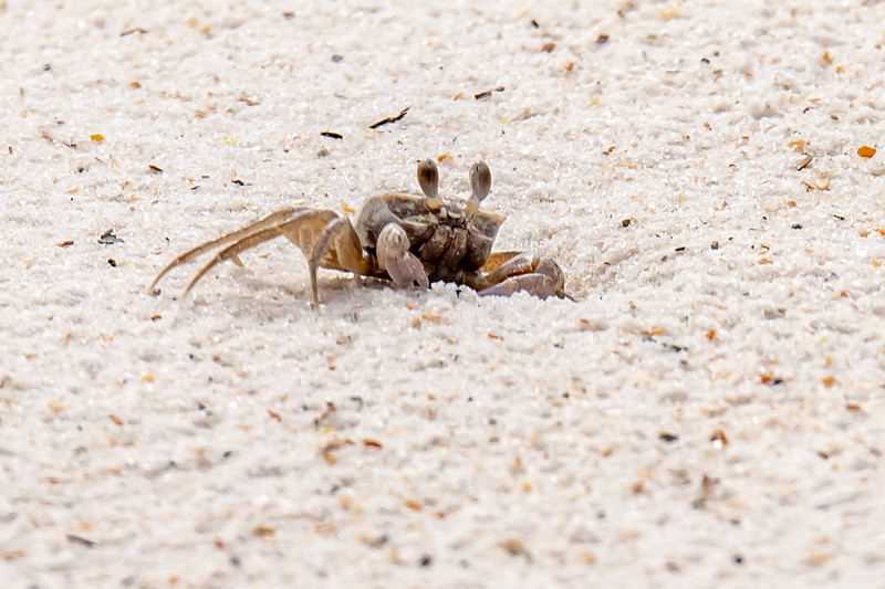 Ghost Crabs are seen on the beach but it's hard to get a photo of one.  They seem to sense your approach and they scurry down a hole in the sand.  This one is right at the edge of its hole and I managed to snap a photo before it disappeared.