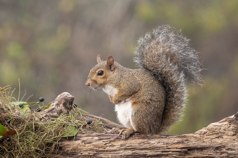 We had two Gray Squirrels visiting the feeders I put out for the birds.  They couldn't get on the feeders, but they did clean up any seed that fell to the deck.  They are noticeably smaller and redder than the Gray Squirrels we have in Minnesota.