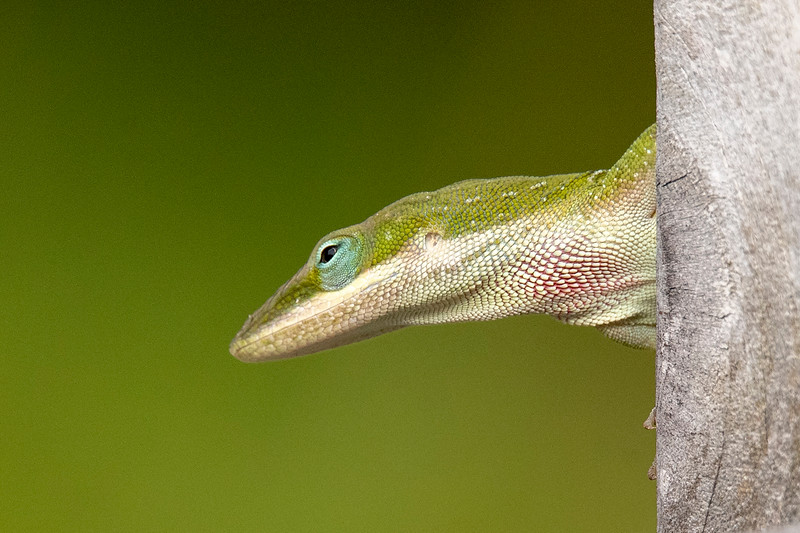 It's quite common for us to see a Green Anole on the deck of the house we rent during our winter stay on St. George Island, Florida.  I like the blue-green coloring around the eye.  Also notice the reddish area on the throat.  The Anole can inflate its throat so that this area becomes a large red dewlap under the chin.  This year I didn't have a chance to photograph one displaying its dewlap.