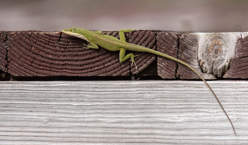 Anoles have a very long, thin tail.  In this photo, the tail appears to be about twice as long as the rest of the Anole's body.