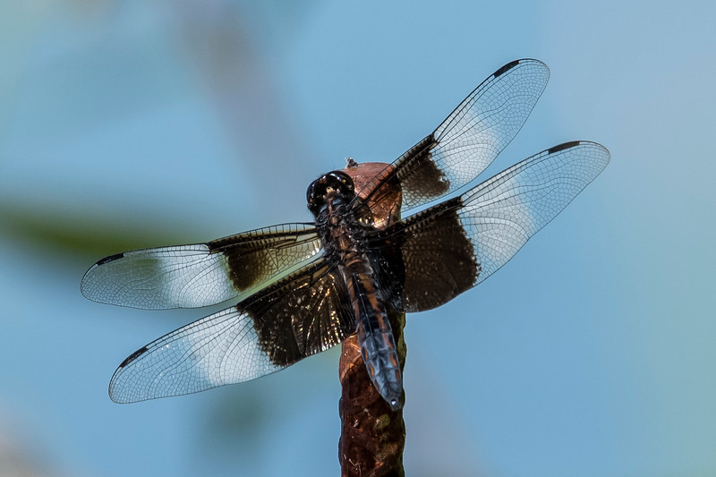 The striking black and white wing pattern identifies this as a male Widow Skimmer.  No other dragonfly species has a wing pattern like this.  Adults average 1.8 inches long.  They are found across most of the United States and in southern Ontario and Quebec.