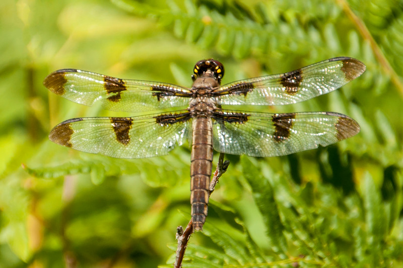 The Twelve-spotted Skimmer is aptly named, as you can see from the number of spots on the wings.  The spots are brown, so this is either a female or an immature male; the next photo will show you a mature male.  At 2 inches long, this is a noticeably larger dragonfly.
