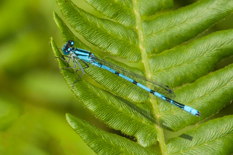 This damselfly is one of the Bluet species.  There are several that look very similar and I can't tell which one this is.