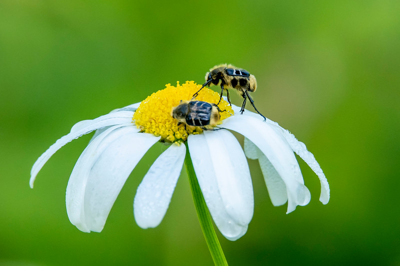 I found these insects on a Daisy and someone from BugGuide.net identified them as Scarab Beetles.