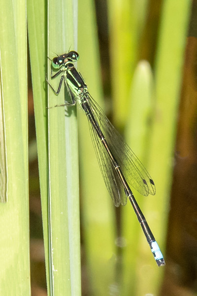 Here is another damselfly, an Eastern Forktail.  The green color on its head and thorax indicate this is an adult male.  Females would be either blue or orange in that area.