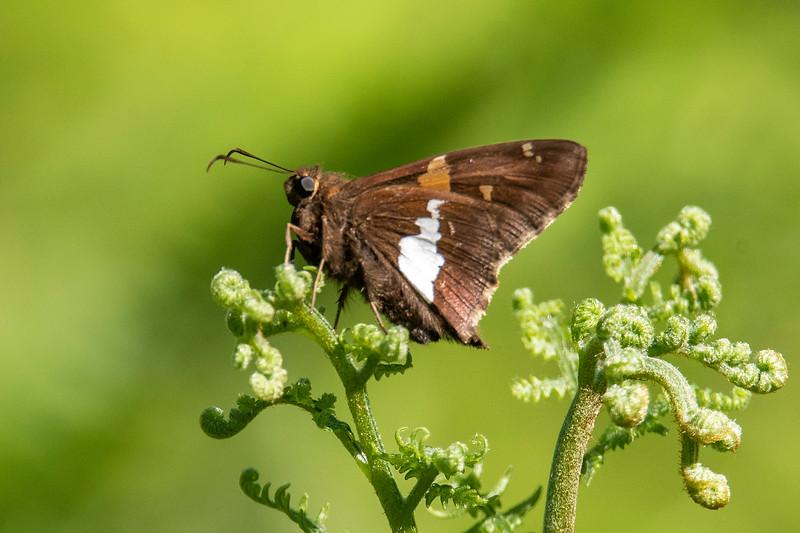 The underside of the Silver-spotted Skipper's wings shows the irregular spot that gives it its name.  Most skippers are small.  With a wingspan of 1¾ to 2½ inches, this is one of the larger skippers.