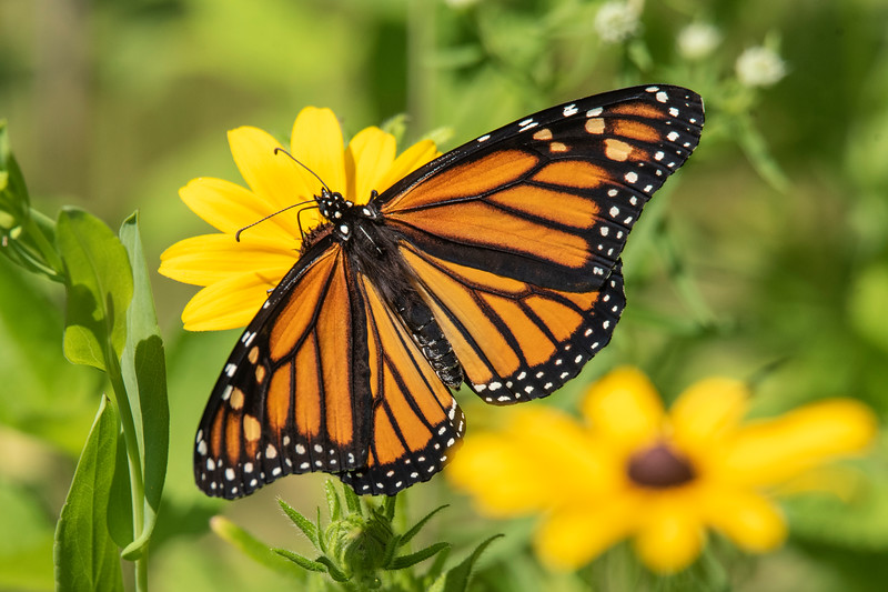Perhaps you've read about the nationwide concern over the decline of Monarch butterflies.  We were happy to see several Monarchs visiting our wildflower garden this summer.