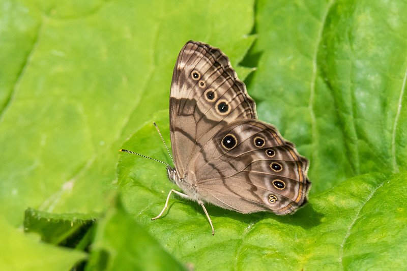 "This is a smaller butterfly called a Northern Pearly-eye.  It has a wingspan of only 2 to 2½ inches.  The many ""eyes"" give this butterfly an aggressive appearance that makes any predator think twice before attacking it.  The tiny white spots are the ""pearly-eyes"" referenced in its name."