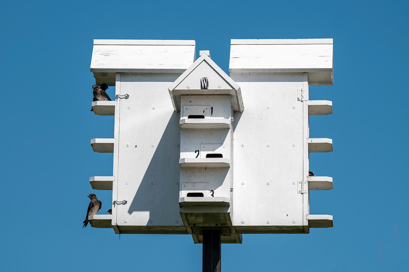 The Refuge has a Purple Martin house at the visitor center, and it is visible as you drive by on Highway 65.  Martins have a close association with humans.  In the eastern United States, Martins breed almost exclusively in bird houses provided by people.