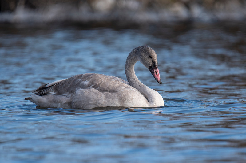 """By the 1880s, Trumpeter Swans had disappeared from Minnesota.  The swan population in Minnesota has been gradually increasing due to a reintroduction plan started in the 1960s.  Read more about this successful DNR project by clicking on this link.  <a href=""""https://www.dnr.state.mn.us/eco/nongame/projects/trumpeterswan/index.html"""">https://www.dnr.state.mn.us/eco/nongame/projects/trumpeterswan/index.html</a>"""