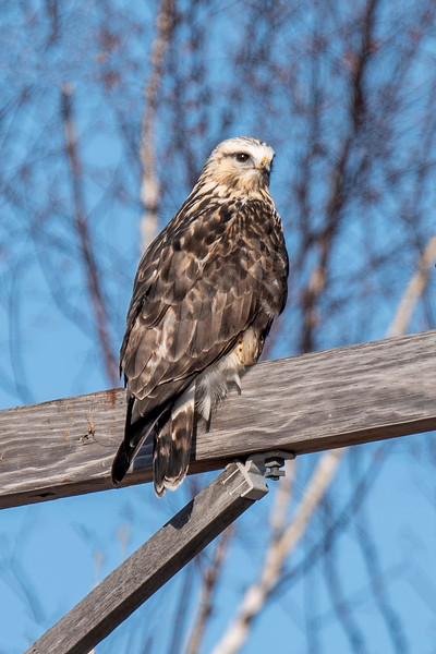 Rough-legged Hawks are regular winter visitors to Minnesota.  This one was sitting on a utility pole along Hwy 73 as I was driving to our lake home a couple of weeks ago.