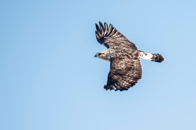 This photo of the hawk in flight shows the white patch at the base of its long tail.