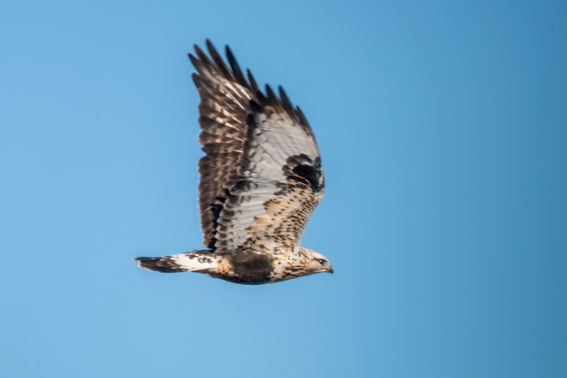 Rough-legged Hawks have a colorful pattern on the underside of their wings.