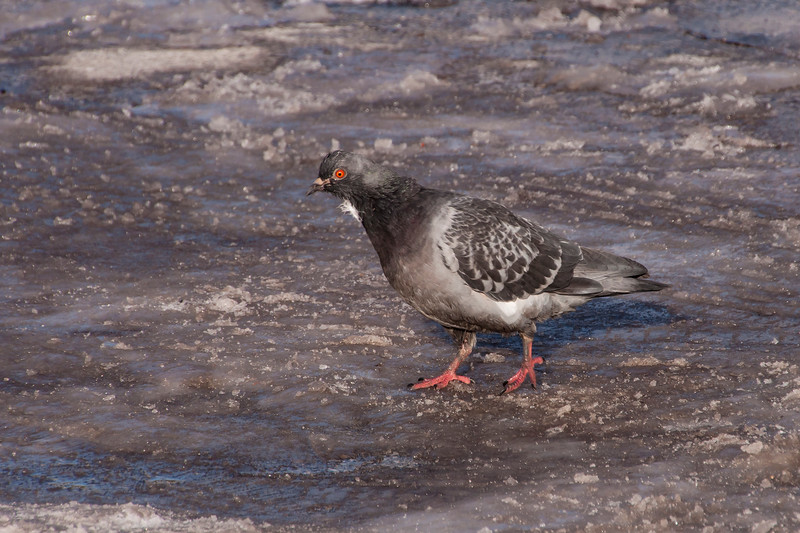 All that snow didn't deter this local Rock Pigeon from walking around the parking lot looking for something to eat.