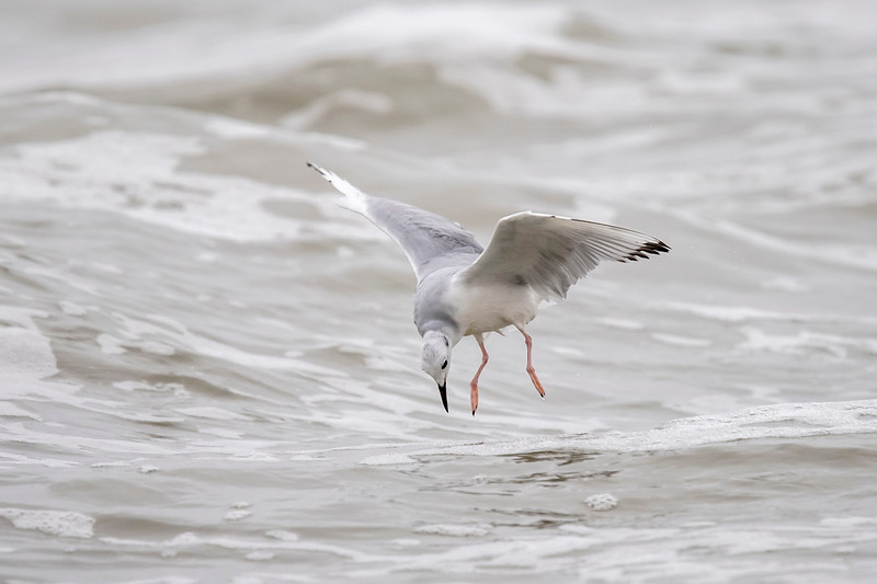 This gull seemed to have spotted some kind of a food item in the water below.