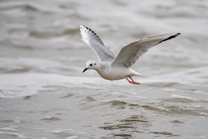 These gulls were feeding by slowly flying just above the shallow water along the coastline.  Their flight has been described as delicate and buoyant.