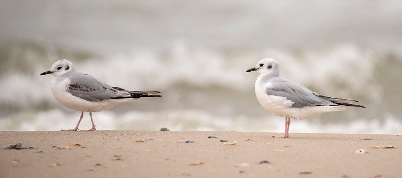 During our winter stay on St. George Island, Florida, I like to explore the beach along the Gulf of Mexico.  One day, I saw these two Bonaparte's Gulls resting on the sand.  At 13½ inches long, they are the smallest regularly occurring gulls that we see in North America.  This photo shows them in non-breeding plumage, which includes a dark spot behind the eye.  In breeding plumage, the head will be entirely black.  It takes two years for a Bonaparte's Gull to molt into adult plumage like the bird on the right.  The bird on the left, with more black in its wing feathers, is in 1st winter plumage.
