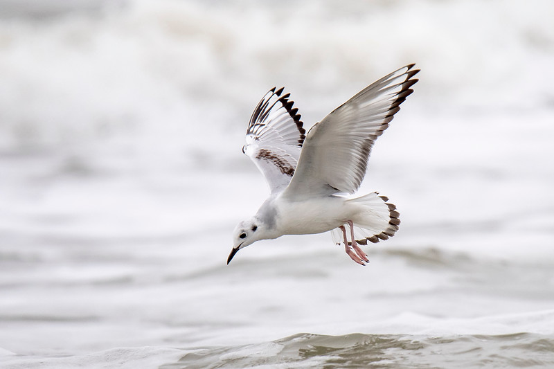 The previous photos have shown the adult gull and here is the younger one flying along the shore.  Note the beautiful black and white pattern on its wings and the black tip of its tail.