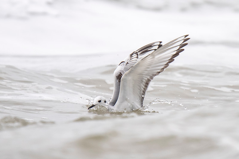 An interesting fact about Bonaparte's Gulls is that they migrate to remote lakes in Canada for the summer.  They build their nests in coniferous trees, another way they distinguish themselves from other gulls.  They do migrate to both U.S. coastlines to spend the winter.