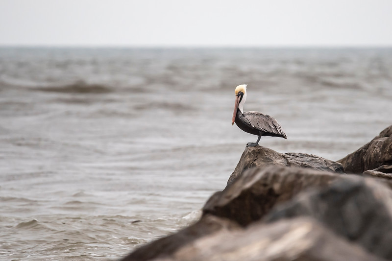 Brown Pelicans are quite common on the north Florida Gulf Coast.  This one is resting on the huge rocks that line both sides of Sikes Cut here on St. George Island.