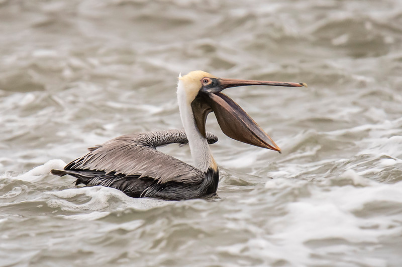 This photo shows how huge the pelican's pouch is when it opens its mouth.