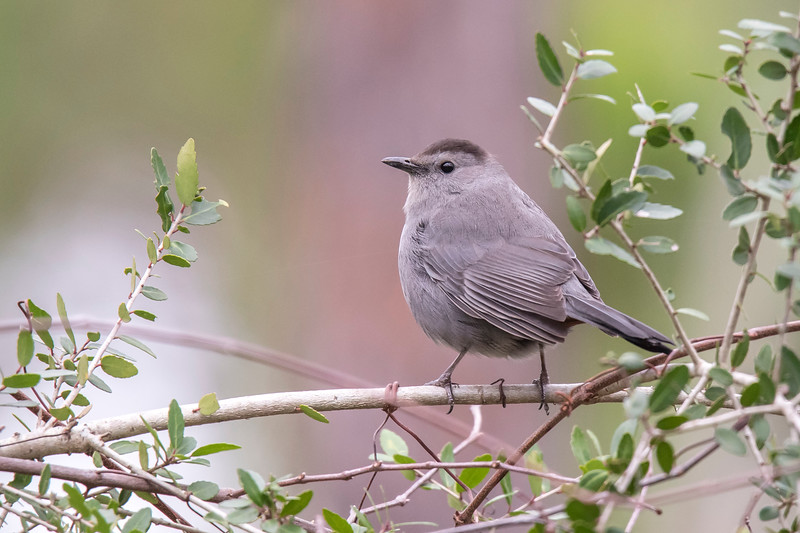 Another common bird found on the island is the Gray Catbird.  It likes to stay hidden in the brush and I often hear its meow-like call before I see it.  This photo was taken at a small park near the home we are renting.