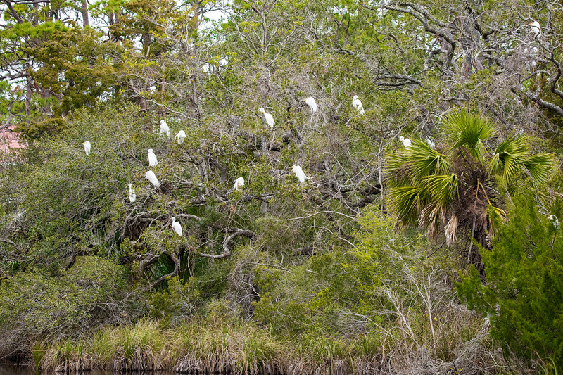 About two blocks away from where we are staying is a small pond.  In the evening, Great Egrets congregate in the trees surrounding the pond.  This is apparently a safe overnight roosting spot for them.