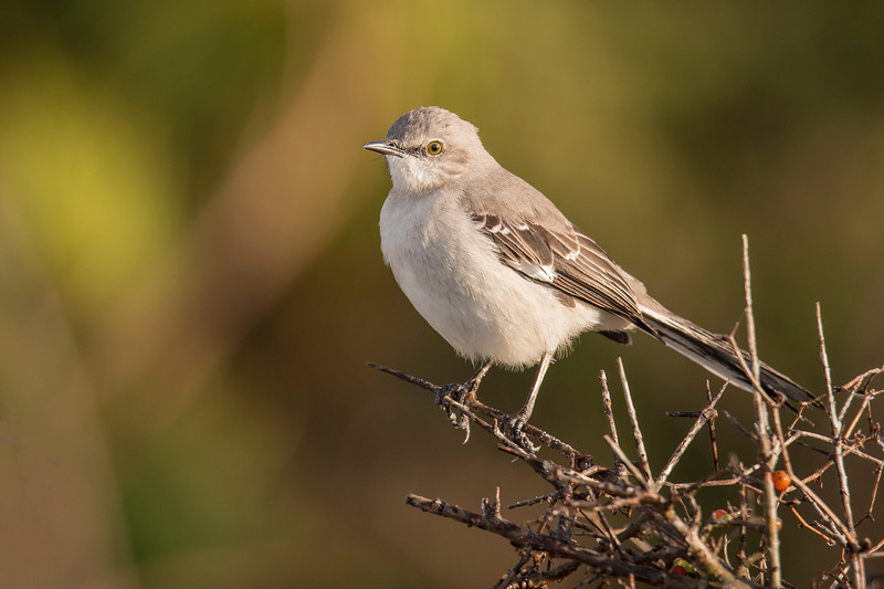 Northern Mockingbirds are very common residents here on the island.  They have been quiet so far, but we will soon be enjoying their extensive repertoire of songs.  This photo was taken near Sikes Cut.