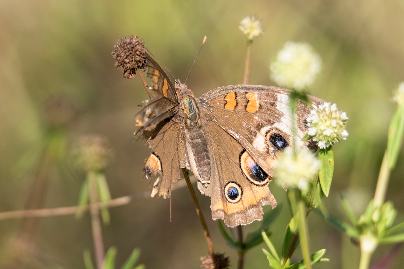 I was hiking around the Bailey Tract on Sanibel Island, Florida, when I came upon this Common Buckeye butterfly with badly damaged wings.  Much to my surprise, it was still able to fly as if nothing was wrong with it.
