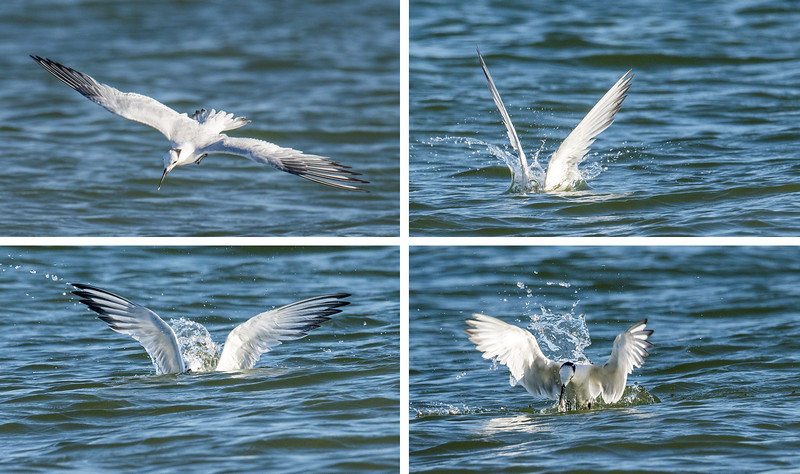 When I'm taking photos of birds in flight, I usually take a burst of shots, so I have a good chance of getting a pleasing view of the bird's wings.  The timing was right with this group of photos to show a Sandwich Tern diving into the water and coming up with a fish.