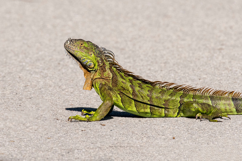 We saw many Green Iguanas when we visited Costa Rica, but I was very surprised to see one at Ding Darling NWR.  I mentioned it to the staff at the Visitor Center and they said Iguanas are not that unusual in south Florida.