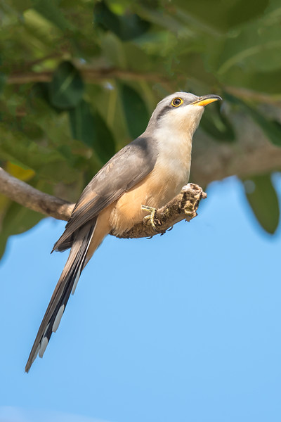This was my best bird sighting of the trip.  It is a Mangrove Cuckoo and I had never seen one before.  It's life bird number 888.  I saw it near the lighthouse on Sanibel Island.