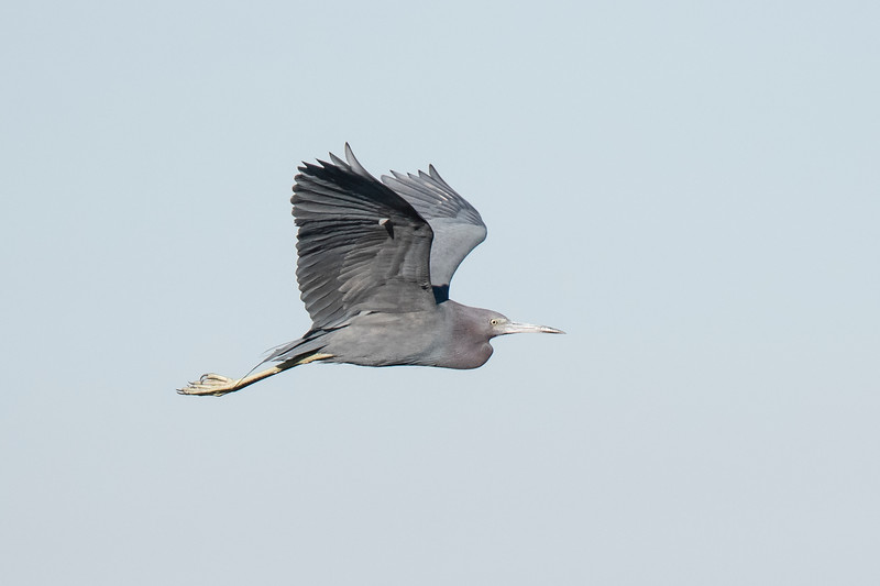 Little Blue Herons are common at St. Marks.  Note how its long neck gets tucked in when it flies.