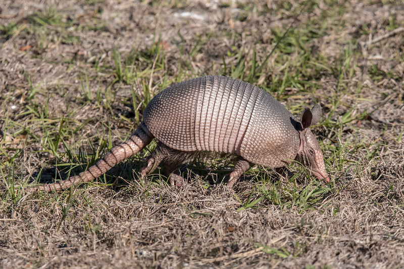 John and I ended our birding trip at Bald Point State Park.  This Armadillo was snuffling along beside the road and I just had to take its photo.  I know they are considered pests because they dig up gardens and lawns, but to a Minnesota resident, an Armadillo is an exotic animal.