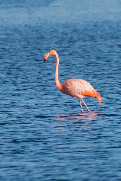 Wild Flamingos are uncommon in the United States, even in south Florida, so seeing one in north Florida is really a rare sight.  Flamingos are very tall, up to 50 inches in height.
