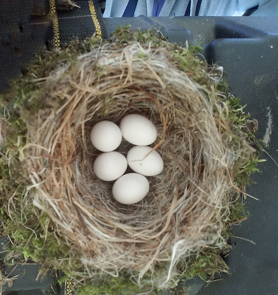 I've posted a couple of these photos on my Facebook page but now I'm going to put the whole story together.  Each year Eastern Phoebes build a nest in our boat lift.  On June 10, there were five eggs in the nest.